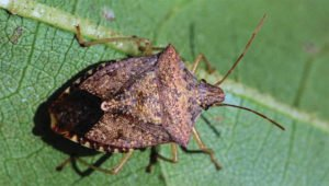 Stink Bug Pests in August - Florida