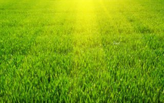 St. Augustine Grass Care